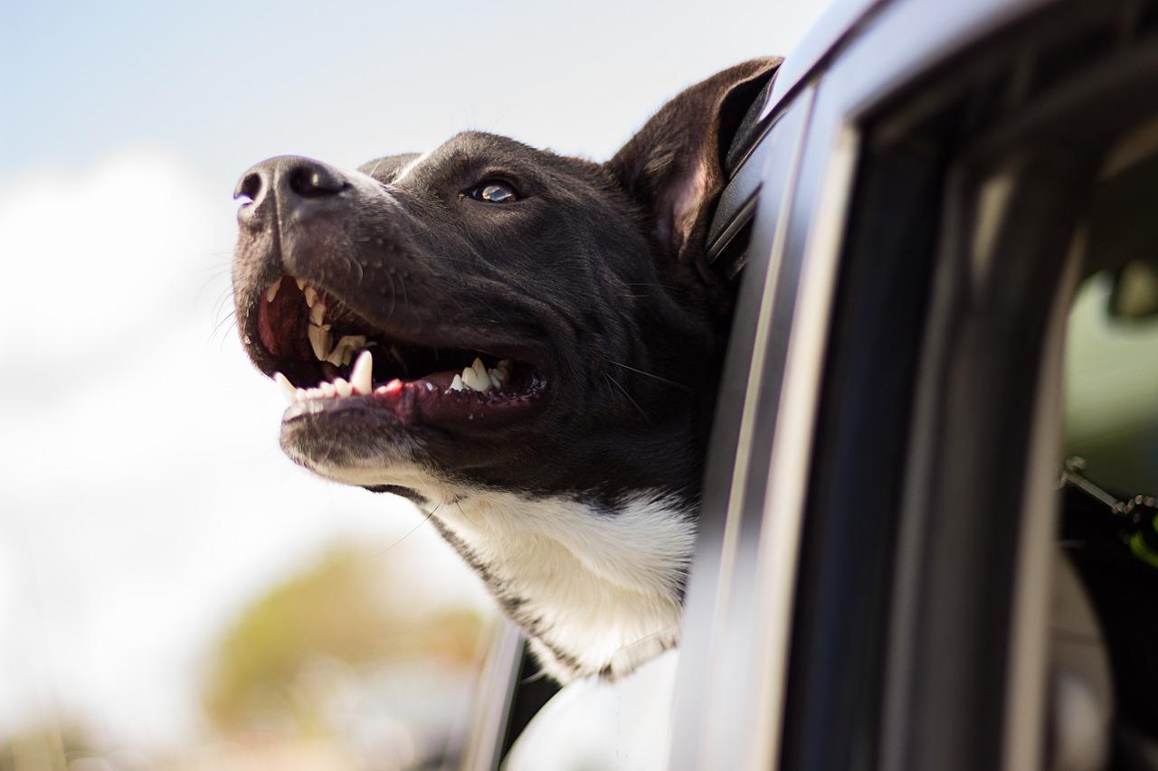 wakacje z psem, pies wystawiający głowę z okna samochodu