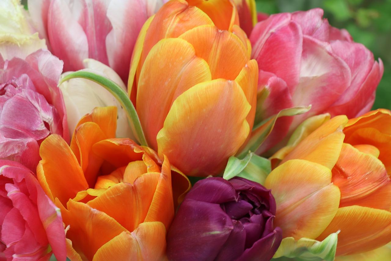 Atrakcje w Holandii, targ kwiatów w Amsterdamie, różnokolorowe tulipany